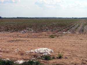 Harvested Cotton Field. Photo by Julie Bergron