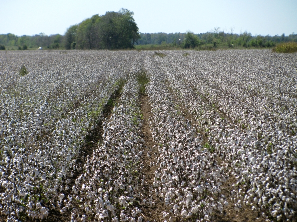 Cotton Field in Arkansas photo by Julie bergeron